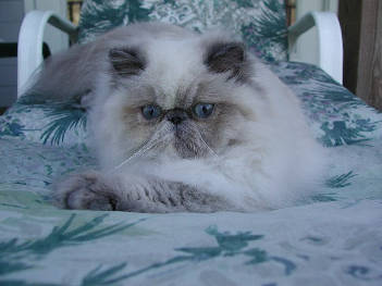 Donegal Himalayans Breeders of Healthy and Quality Himalayan and Persian Kittens