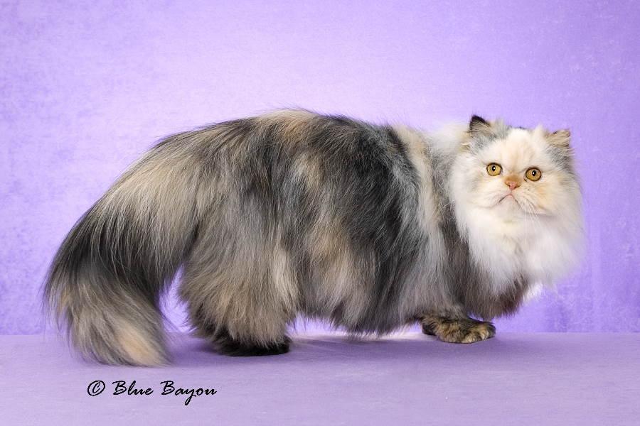 Persian Kittens Nc - Pets Wallpapers